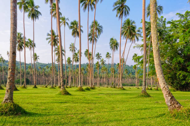 Manicured lawn with coconut trees - Espiritu Santo Manicured lawn and rows of coconut palm trees - Espiritu Santo, Vanuatu vanuatu stock pictures, royalty-free photos & images