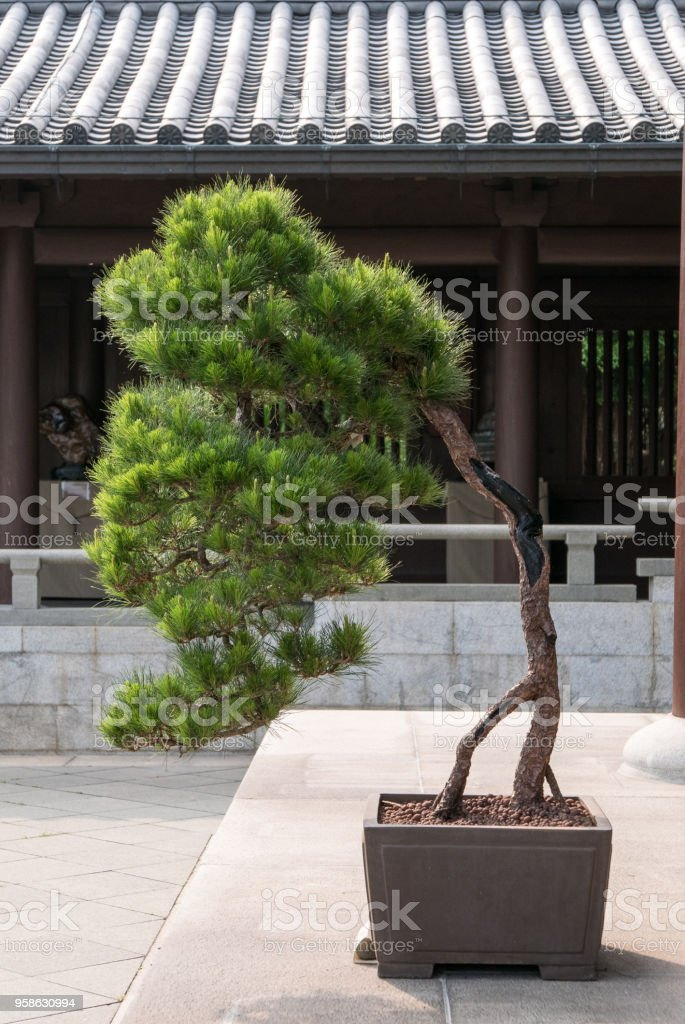 Manicured Tree in First Courtyard of Chi Lin Nunnery, Kowloon, Hong Kong stock photo