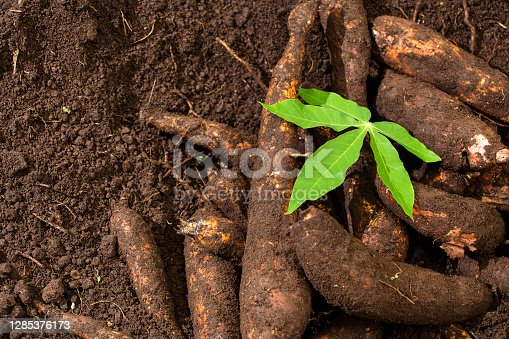 Manihot esculenta root with high nutritional value starches