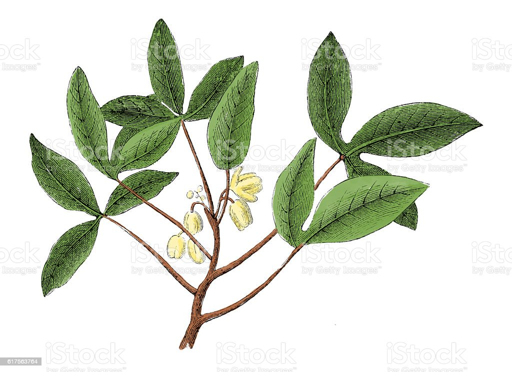 Manihot (antique botanical engraving) stock photo