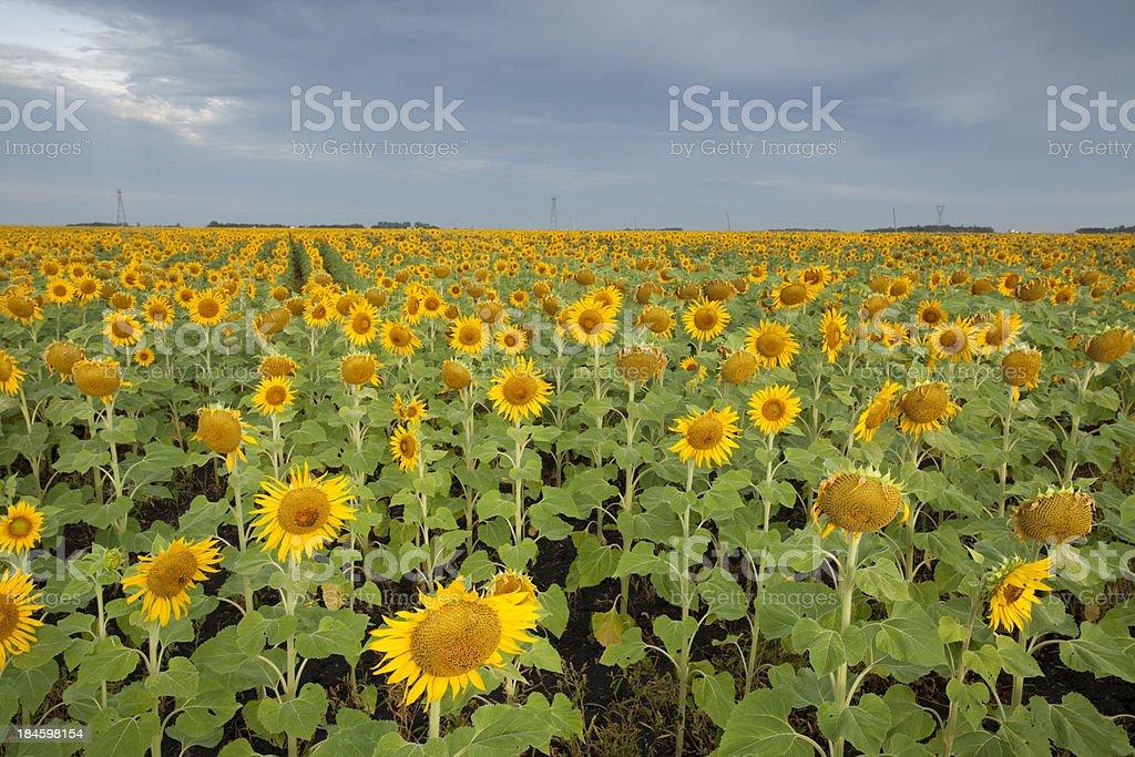 Manitoba Sunflower royalty-free stock photo