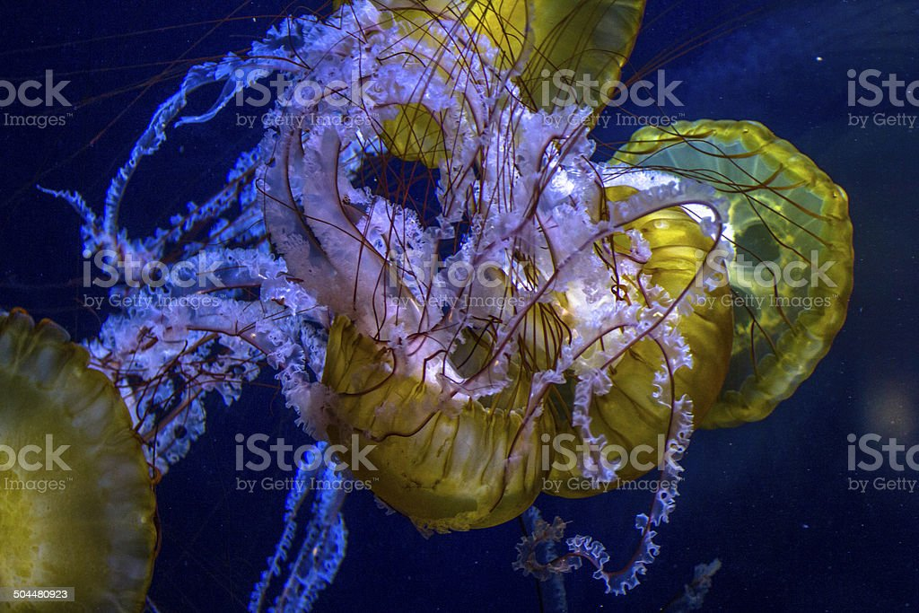 manny jellyfish swimming in blue wather, with long burning threads stock photo