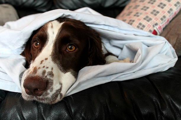 Manny under blanket stock photo