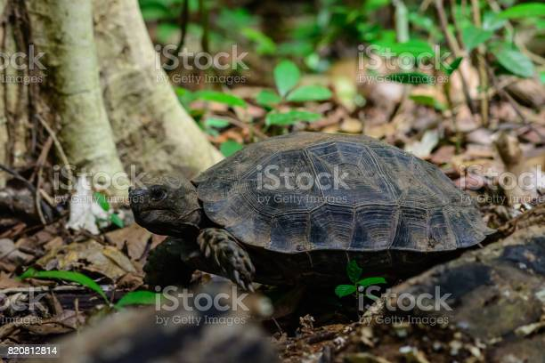 Manouria emys phayei or asian giant tortoise picture id820812814?b=1&k=6&m=820812814&s=612x612&h=cqf6g3xoi m6awuhphgbxkhtgmimmwbrcsrplcyknuy=