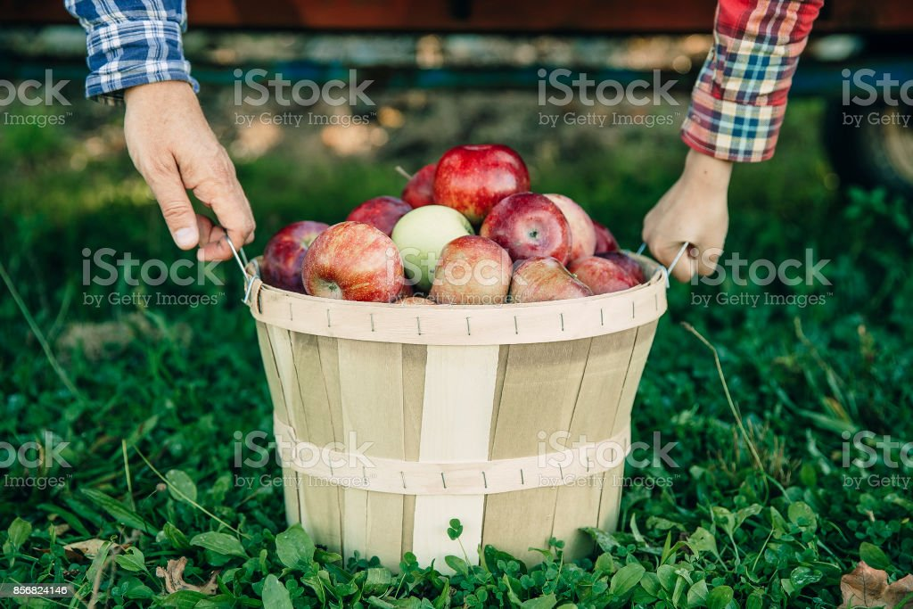 man's and kid's hands hold a basket with apples stock photo