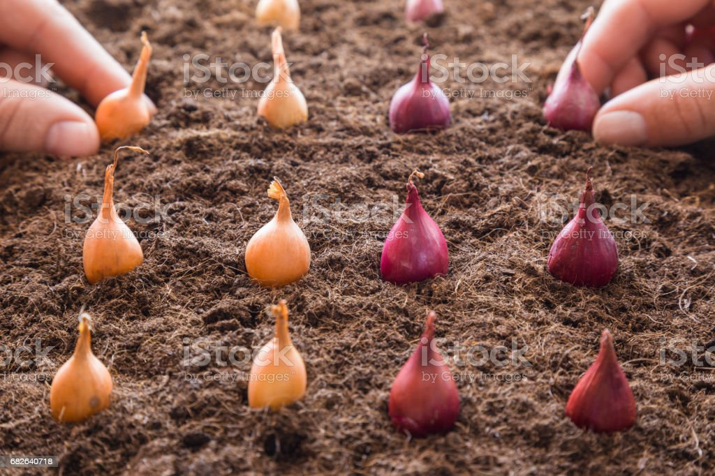 Man's and woman's hands planting small onions in the ground. Early spring preparations for the garden season. stock photo