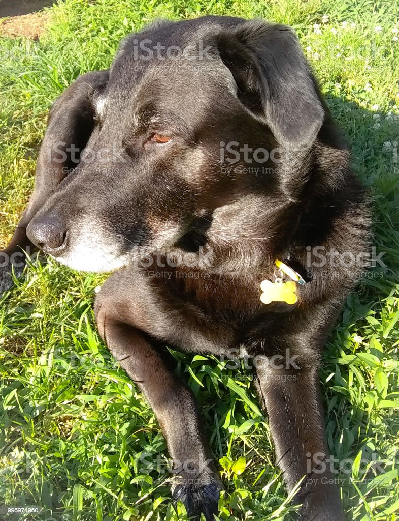 Mans Best Friend Black Lab Border Collie Mix Family Dog And