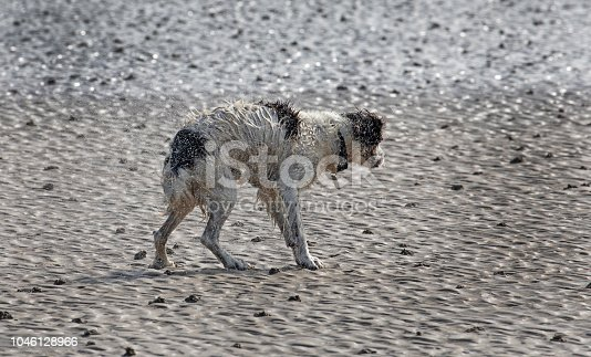 A walk along Portmarnock Beach and the Spaniel had just emerged from the sea after a swim