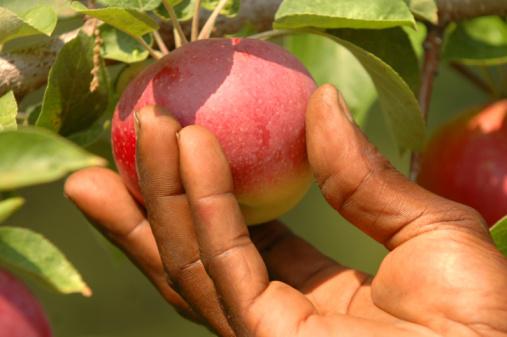 Mans Hand Apple Picking