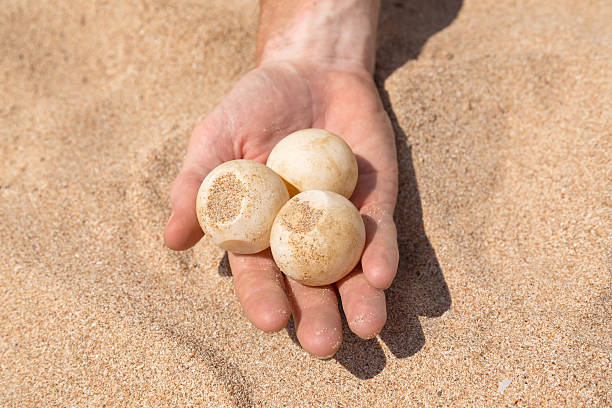 Man's hand holding turtle egg stock photo