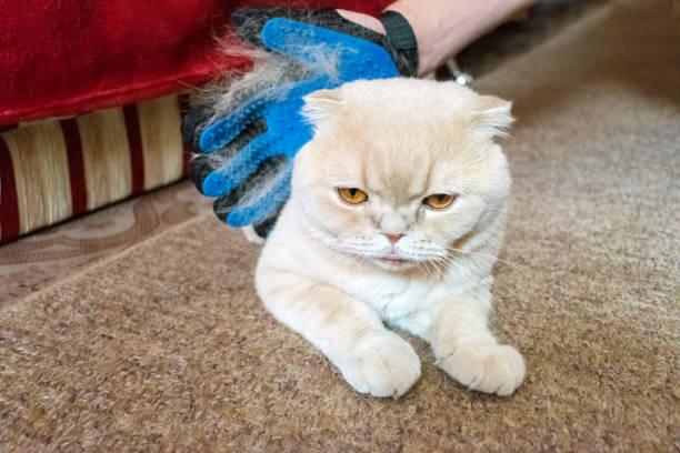 die hand eines mannes in pflege blaue gummihandschuh kämme flauschige creme scottish fold katze. tierbesitzer katzenhaaren mit fellpflege handschuh entfernen. selektiven fokus - entfernen von tierhaaren stock-fotos und bilder