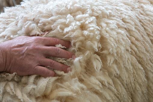 Man's hand on back of merino sheep