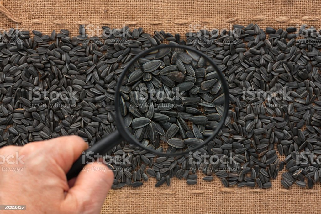Man's hand with magnifying glass over sunflower seed royalty-free stock photo