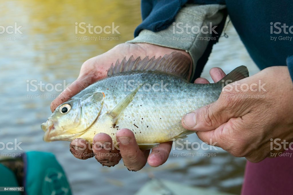 Mans hands holding a freshwater bream fish stock photo