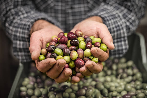 Man's hands holding a handful of olives Close up of a man's hands holding a handful of freshly harvested olives olives stock pictures, royalty-free photos & images