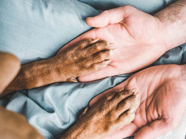 Man's hands holding paws of a young puppy Man's hands holding paws of a young puppy. Close-up, indoor. Day light. Concept of care, education, obedience training, raising pets take care of dog stock pictures, royalty-free photos & images