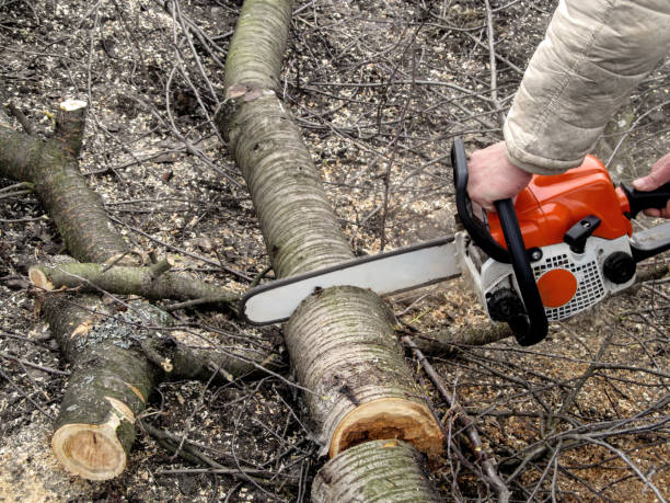 Man's hands sawing a cherry tree with chainsaw stock photo