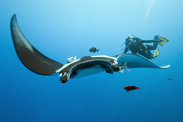 Manta and diver on the reef stock photo