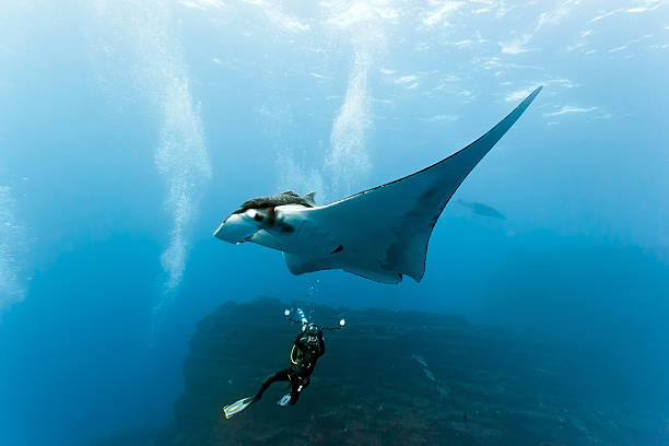 Manta and diver photographer on the reef stock photo