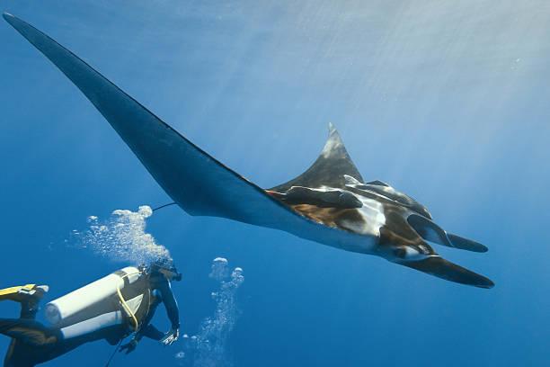 Manta and diver stock photo