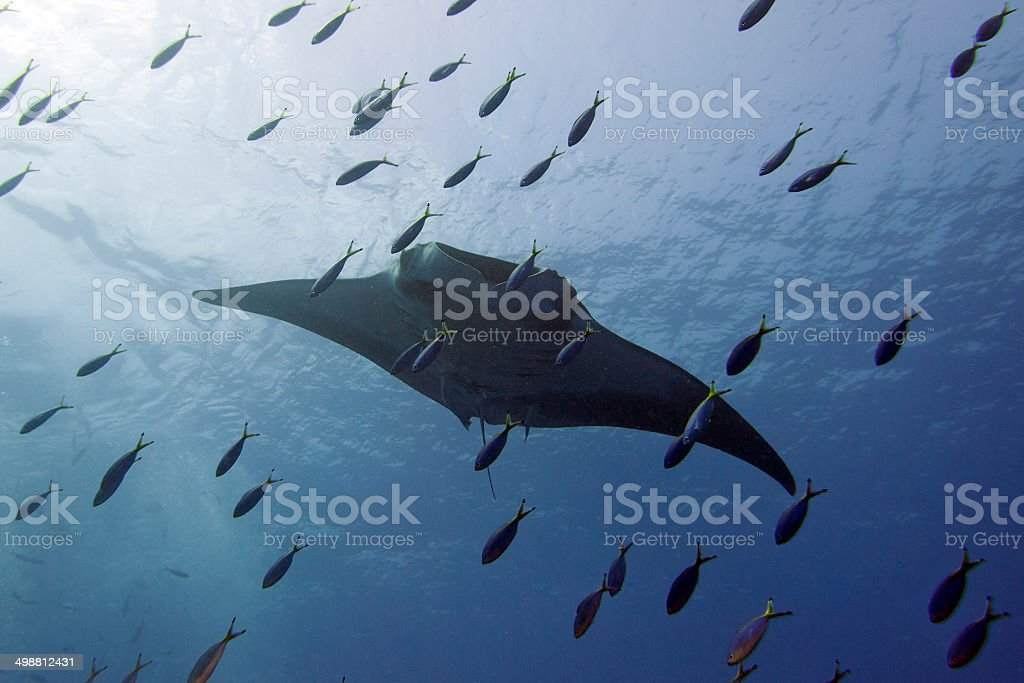 Manta in the deep blue sea while diving stock photo