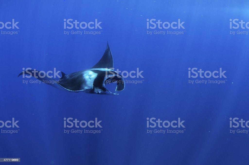 Manta stock photo