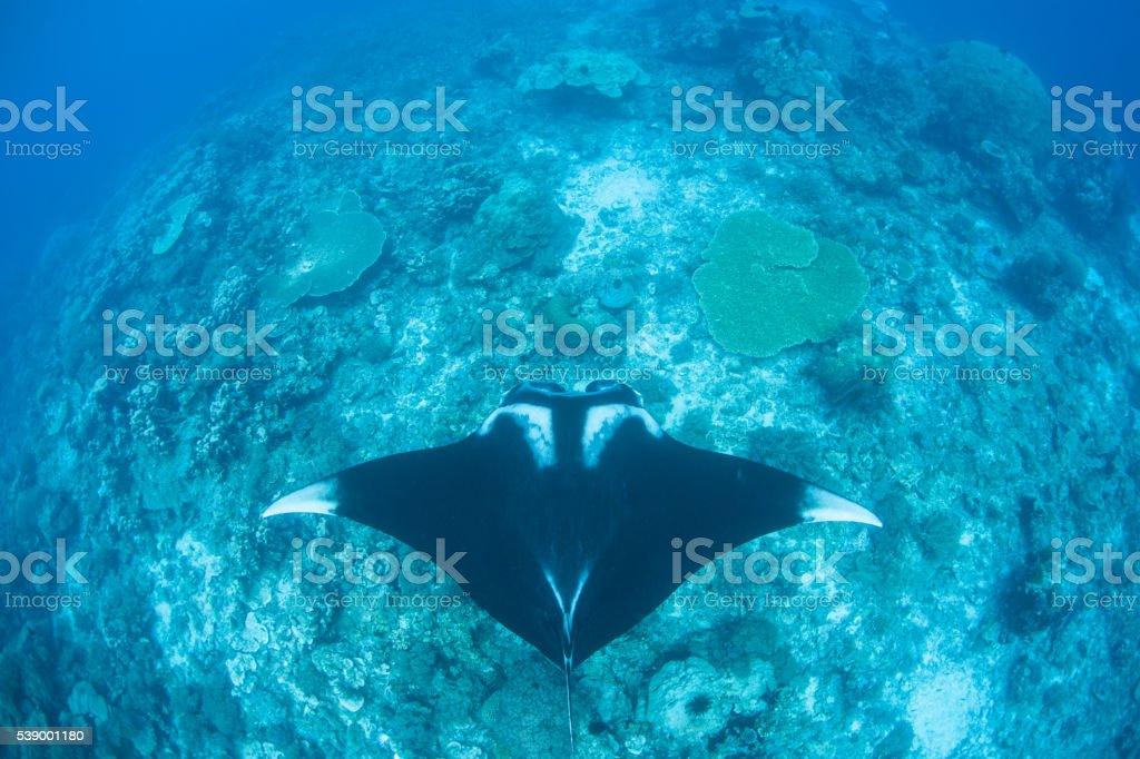 Manta Ray and Deep Reef stock photo