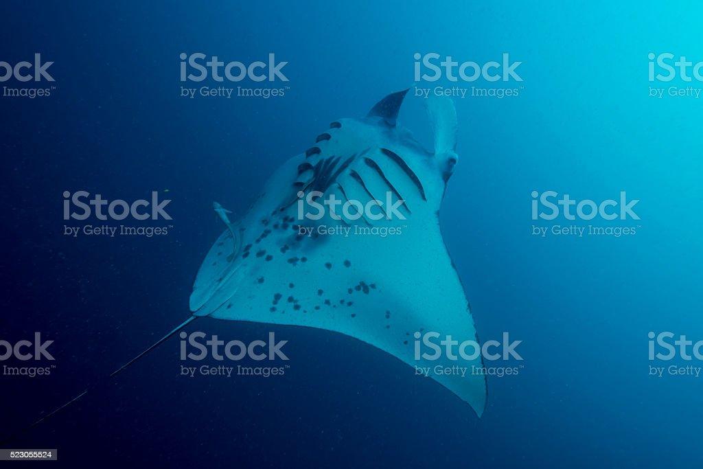 Manta Ray and Plankton - Palau, Micronesia stock photo
