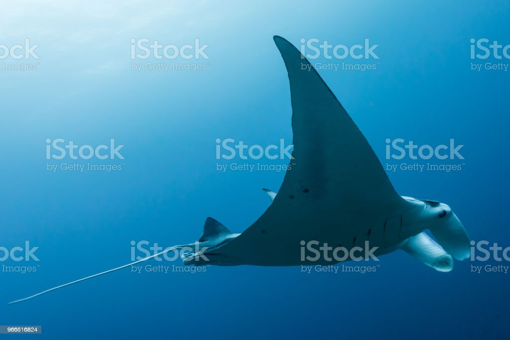 Manta ray flying by in cristal blue water stock photo