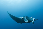 istock Manta ray flying by in cristal blue water 966517112
