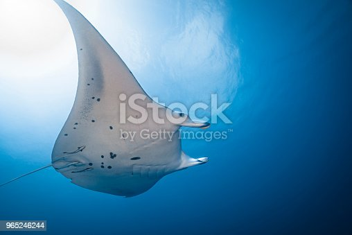 Manta Ray Palau Micronesia Stock Photo & More Pictures of Animal Body Part