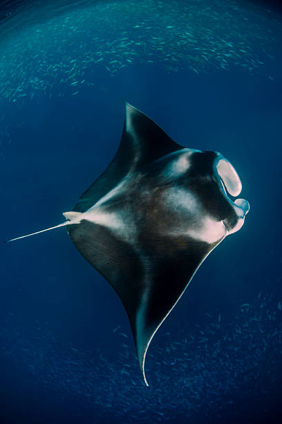 Manta ray Manta ray in a feeding station in German Channel - Palau feeding frenzy stock pictures, royalty-free photos & images