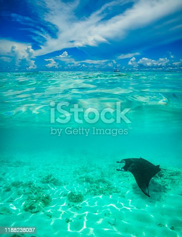 underwater, overwater picture of a manta ray swimming at dhigurah island, maldives islands, indian ocean.