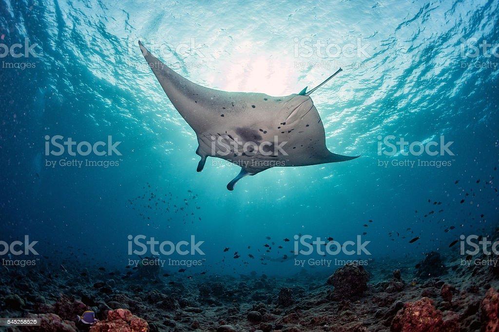 Manta underwater in the blue ocean background stock photo