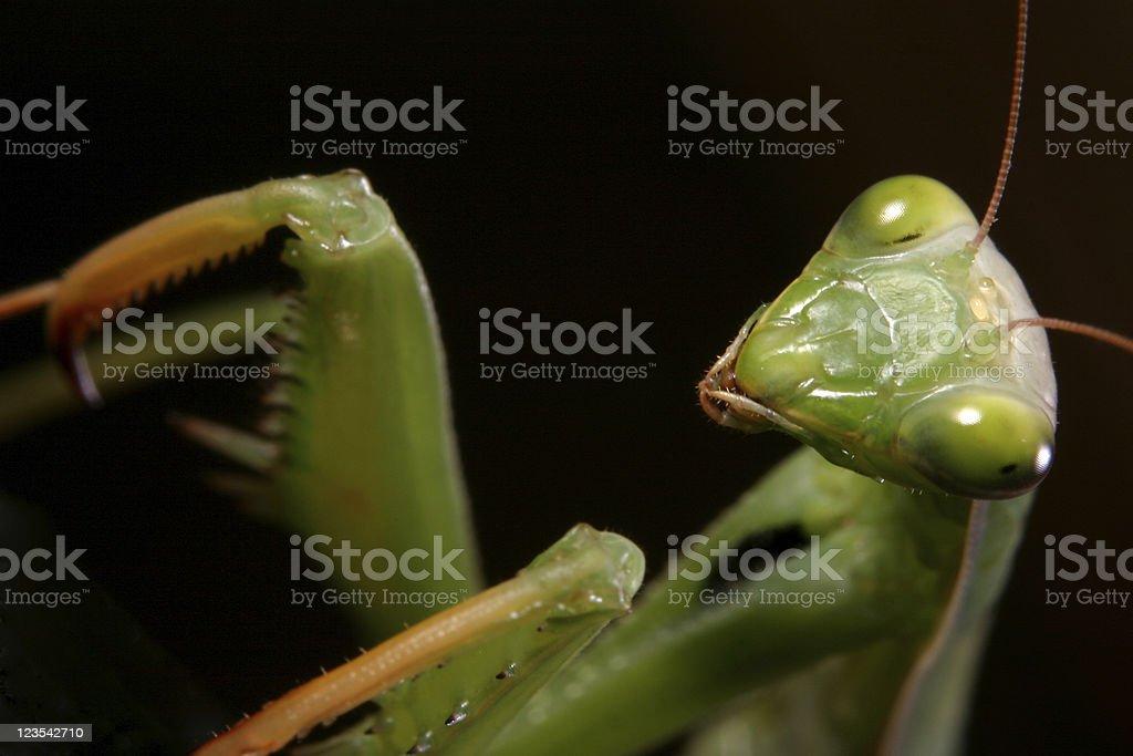 Mantis - Are you afraid royalty-free stock photo