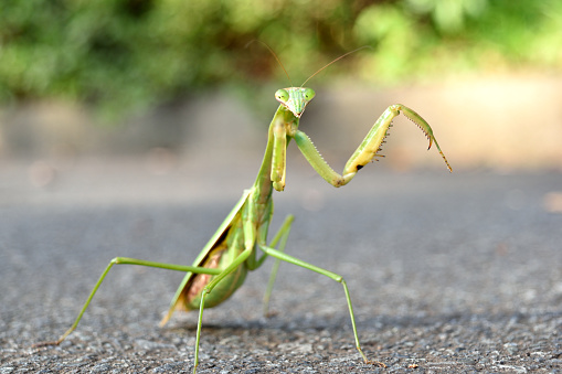 Elementary age boy uses magnifying glass to discover nature.   This curious, student explorer excitedly investigates a praying mantis, which he holds in his hand. Nature background. The child is of Asian, Indian, or Latin descent.  Science, education themes.