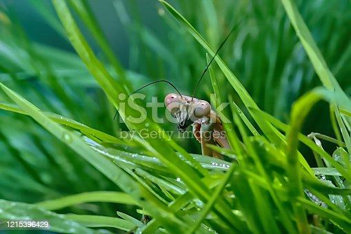 Mantis Plistospilota guineensis (photo illustration)