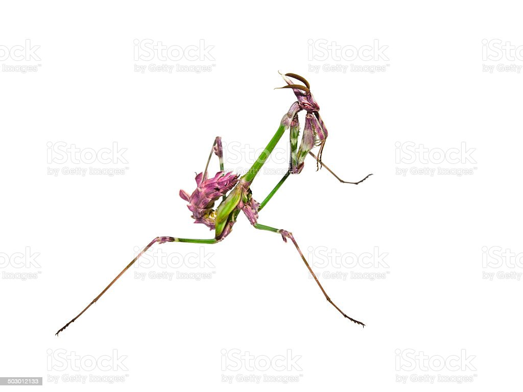 Mantis insect with courtship coloration royalty-free stock photo