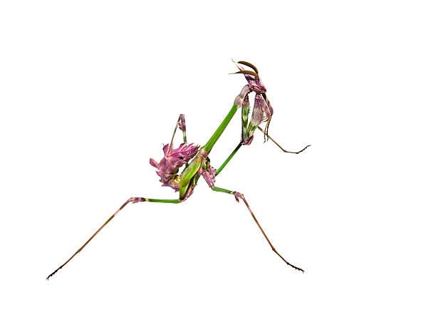 - mantis blatt mit liebeswerben farbschattierungen - rosa tarnfarbe stock-fotos und bilder