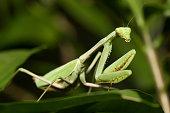 Macro shot of an European praying mantis (Mantis religiosa) among green leaves.