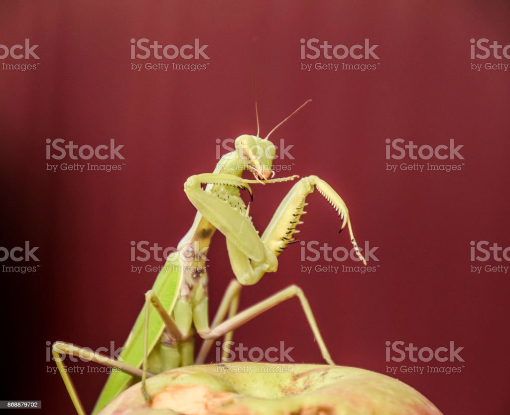 Mantis on a red background. Mating mantises. Mantis insect predator. stock photo