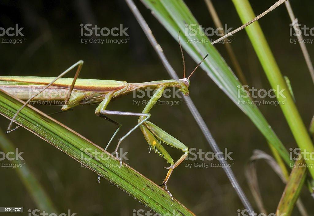 Mantis on grass-blade royalty-free stock photo