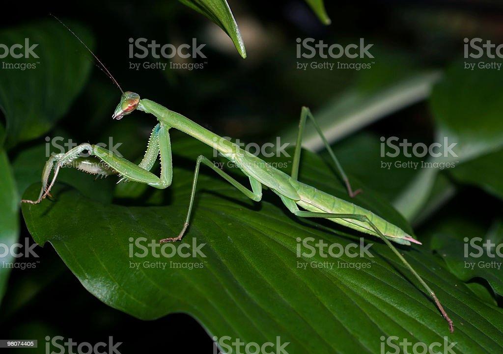 Mantis on hosta leaf royalty-free stock photo
