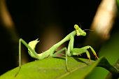 istock Mantis on Leaf 91922898
