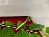 Mantis on Leaf stock photo