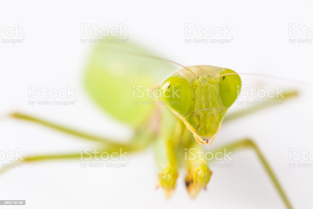Mantis on the white background zbiór zdjęć royalty-free