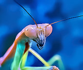 Orchid Mantis (Hymenopus coronatus) is from the tropical forests of Southeast Asia