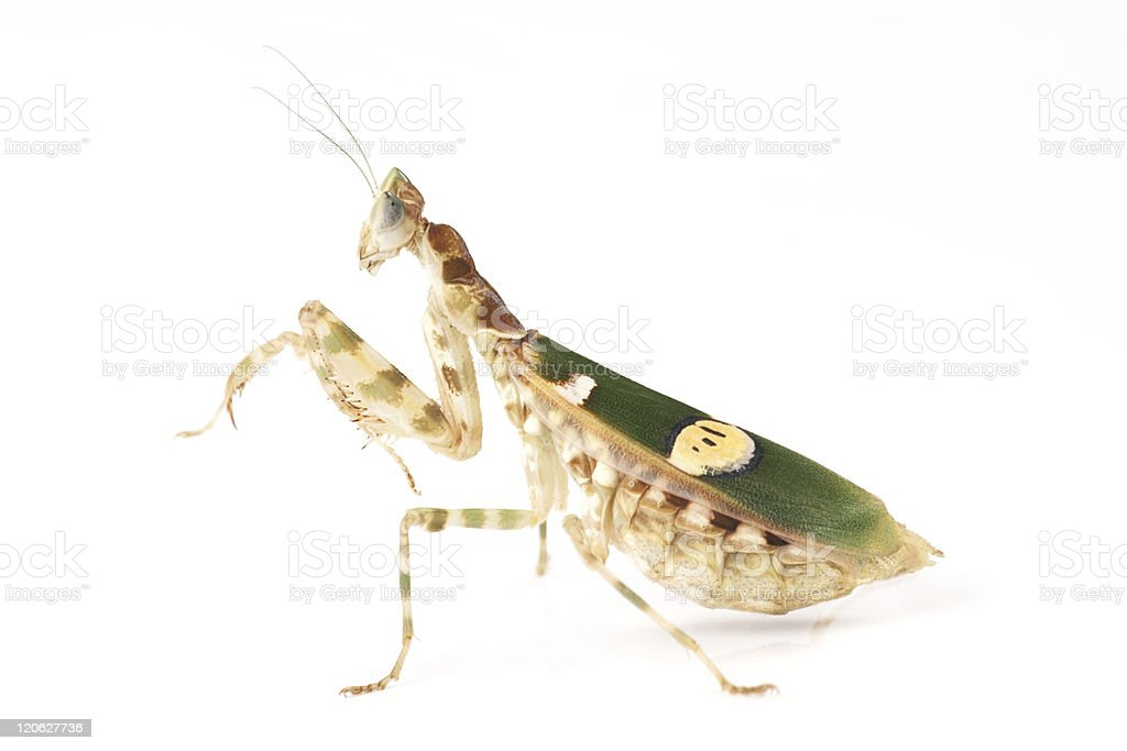 Mantis (Creobroter gemmatus) royalty-free stock photo