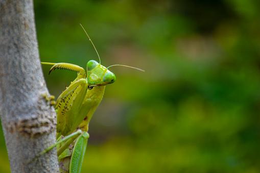 Female of Praying mantis eating male during mating
