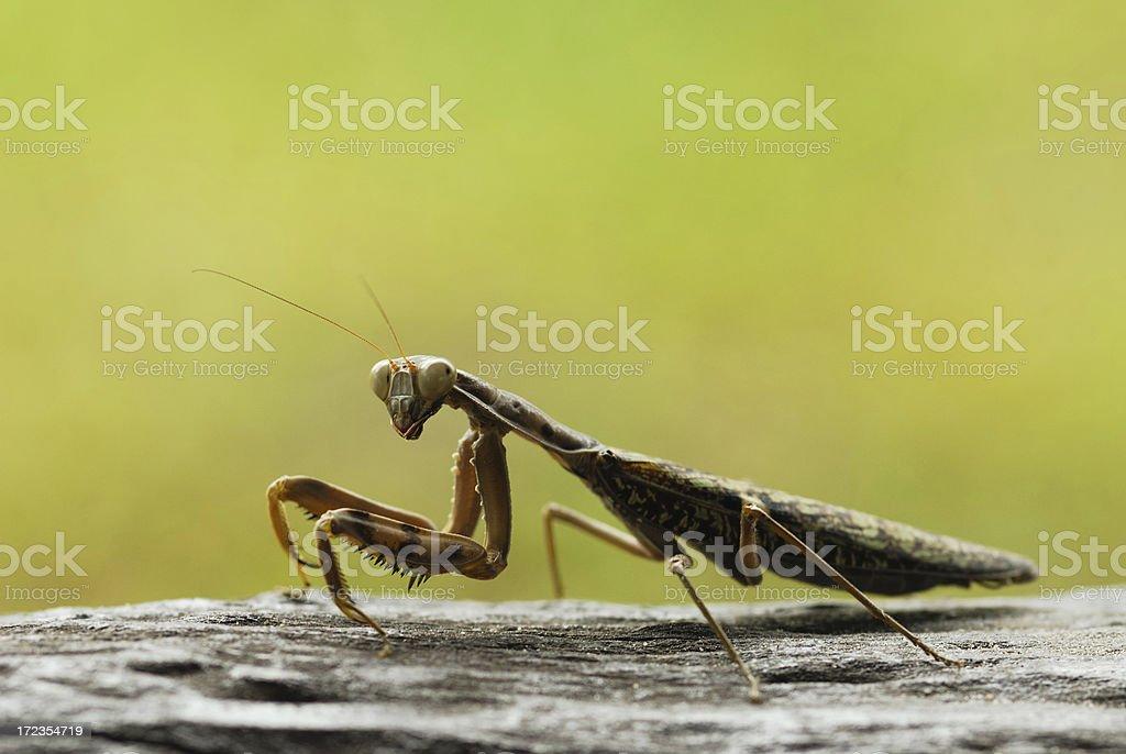 Mantis royalty-free stock photo